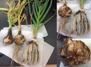 composite photo showing garlic bulbs with damage from stem and bulb nematode