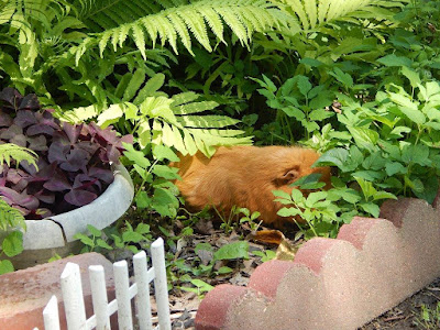 Guinea pig sleeping in ferns