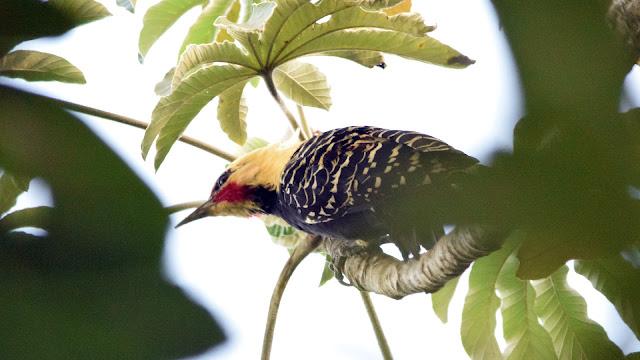 Blond-crested Woodpecker Celeus flavescens flavescens Pica-pau-louro Carpintero Amarillento