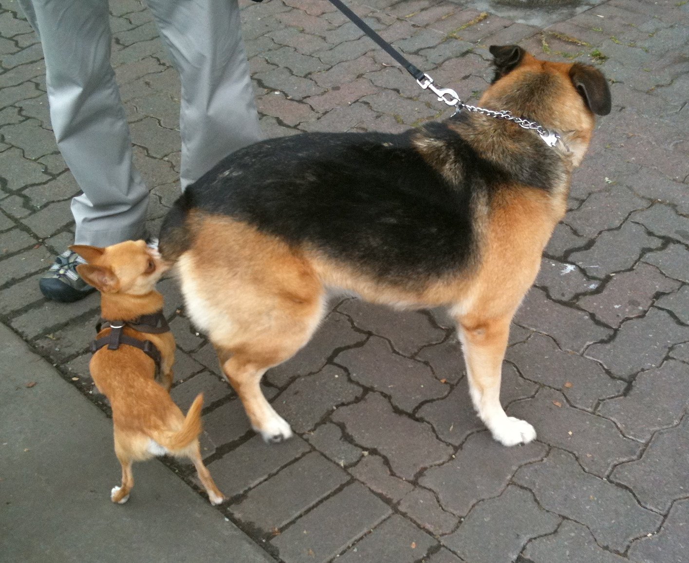 Cute Dogs German Ghepherd Mixed With Rottweiler