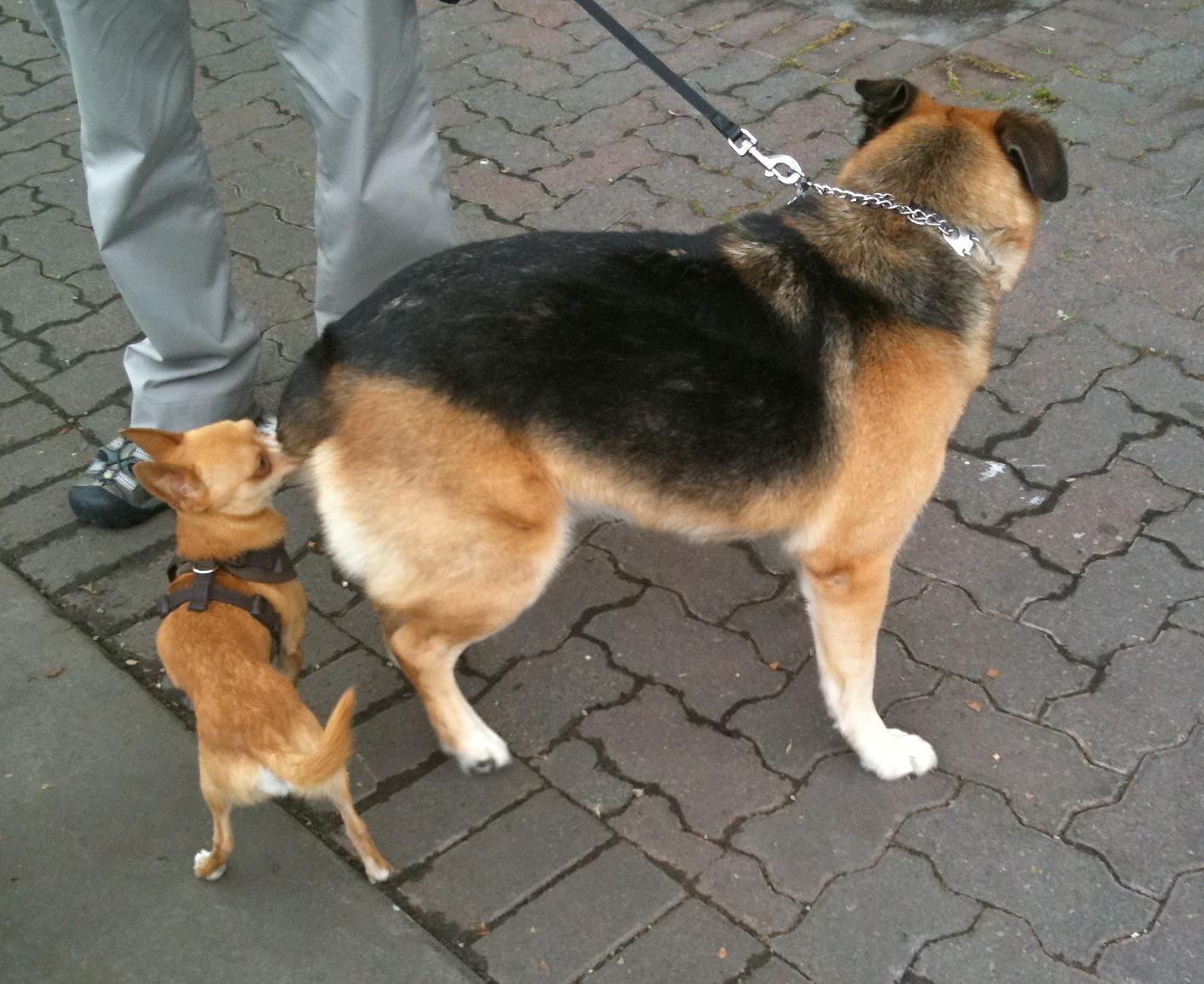 German Shepherd Mix Lab Retriever Yellow Golden