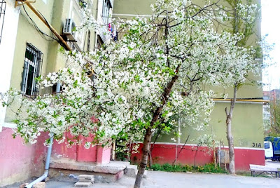full white cherry tree blossoms photo