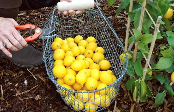 Cara Budidaya Jeruk Lemon Yang Sangat Menguntungkan Dan Juga Banyak Manfaat Bagi Kesehatan