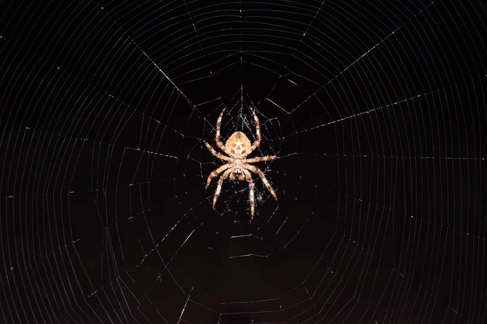 Natural: Araña de jardín. Araneus diadematus