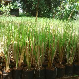 jual rumpt vetiver