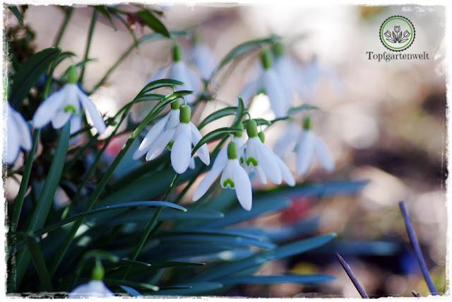 Gartenblog Topfgartenwelt Frühling Frühlingsgarten: Schneeglöckchen Tuff Galanthus Nivalis