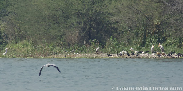 Bird watching at Pashan Lake, Pune, Maharashtra, India
