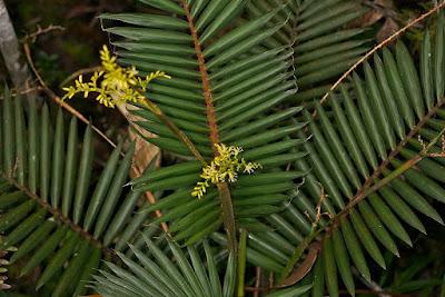 Calamus gibbsianus