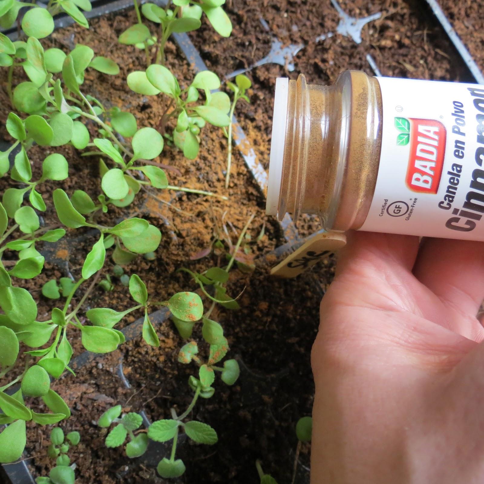 pielęgnacja roślin - cynamon
