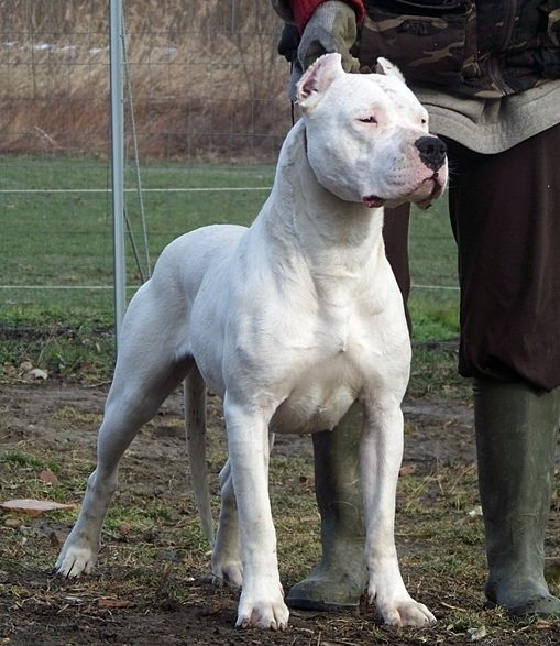 Everything about your Dogo Argentino - LUV My dogs