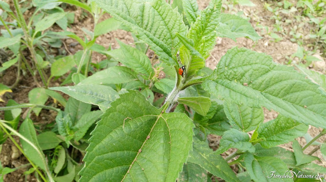 ladybud organic farming