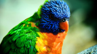 colorfull parrot