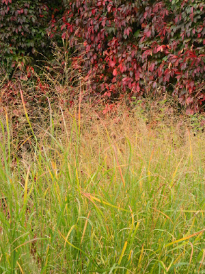 Entry Garden Walk at the Toronto Botanical Garden autumn 'Strictum' switch grass (Panicum virgatum) by garden muses-not another Toronto gardening blog