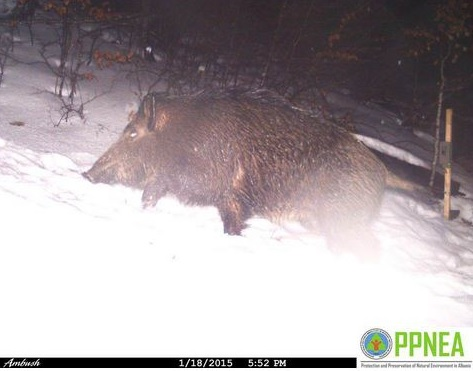 Hidden camera in the forests of Puka captures rare animals