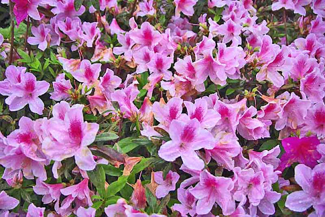 Pink and white flowers in thick bunches, azaleas