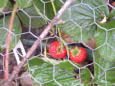Photo of two ripe strawberries growing under chicken wire