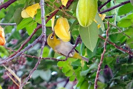 Cara Memaster Burung Pleci Yang Benar