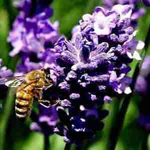 Plants That Repel Mosquitoes - Lavender