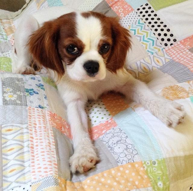 Blenheim Cavalier King Charles Spaniel puppy on scrappy quilt