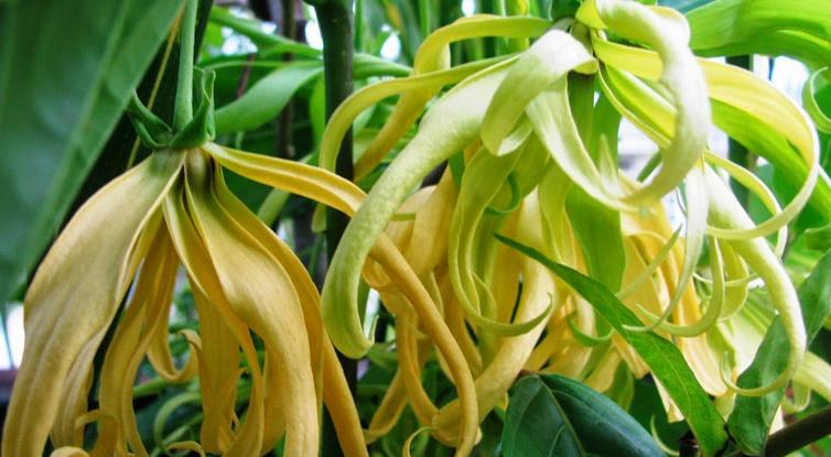 Hasil gambar untuk 7 Manfaat daun kenanga untuk kesehatan