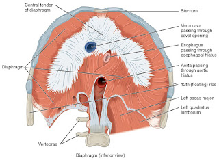 diaphragm muscle, anatomy, muscle picture
