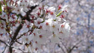 G.W. 期間中は丁度満開なので綺麗な花びらを見ることができる