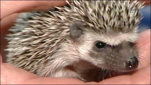 mini hedgehog fun animals wiki videos pictures stories