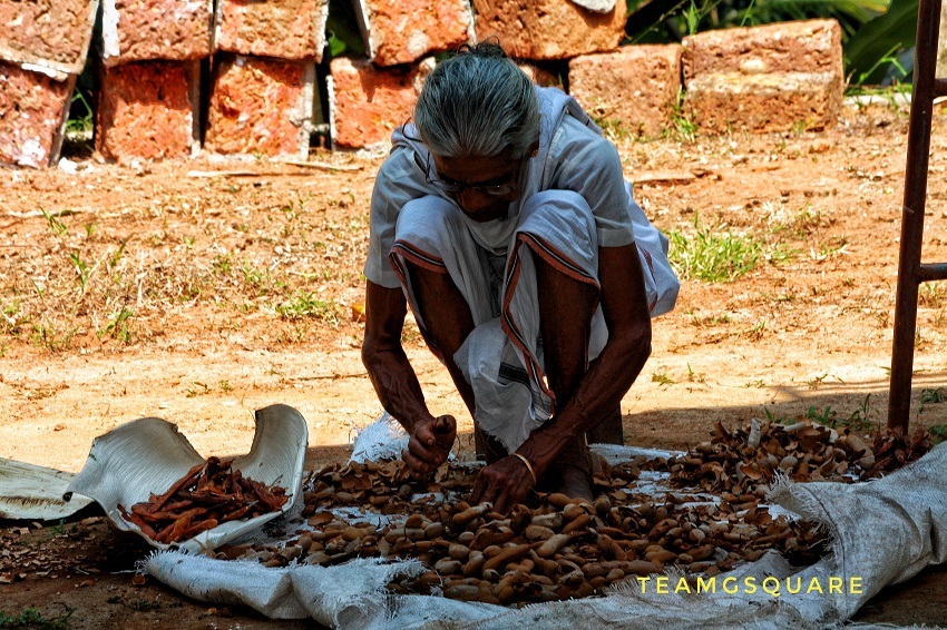 Traditional way of dehusking tamarind fruits