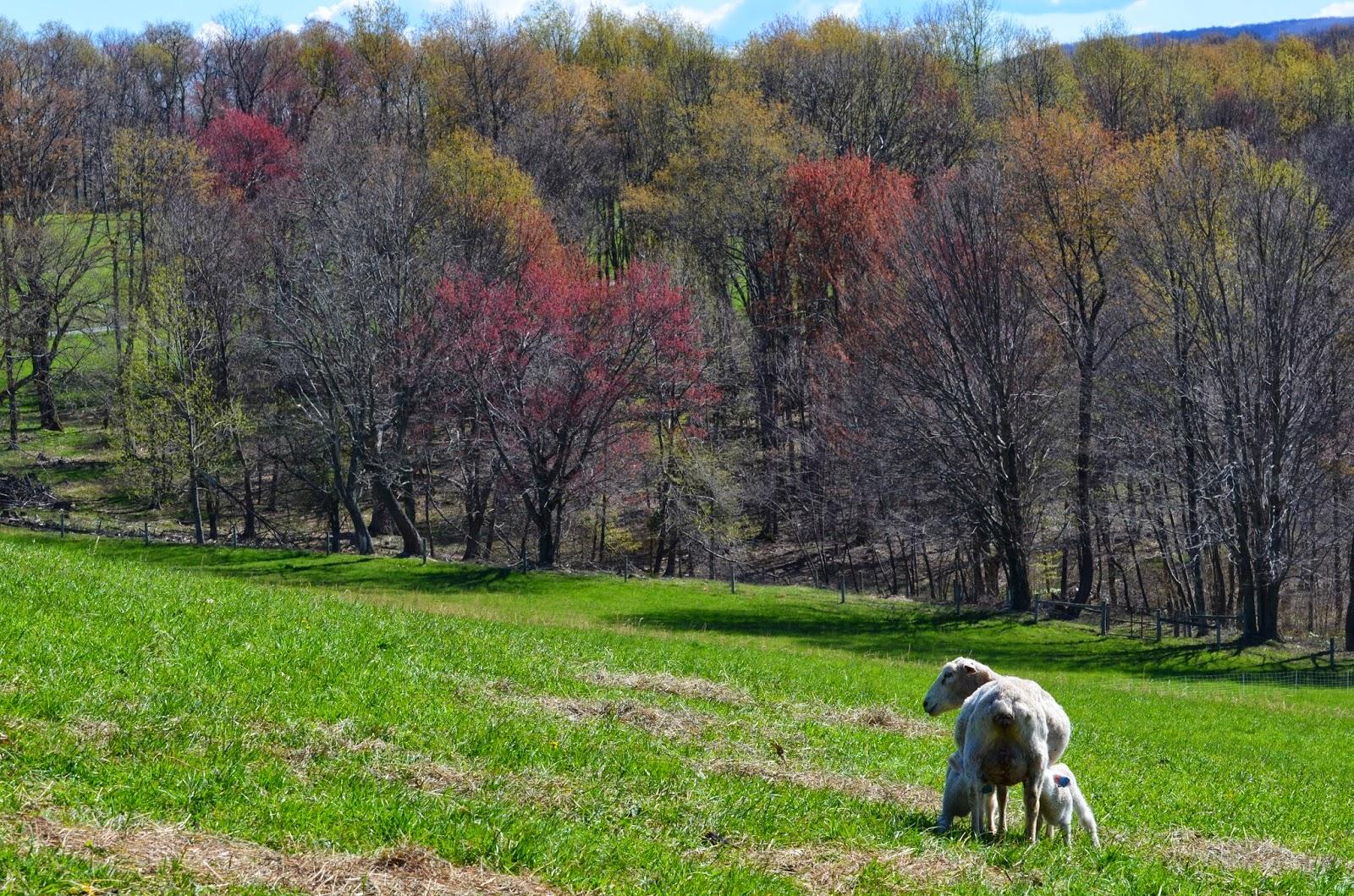 Sheeps and Peeps Farm