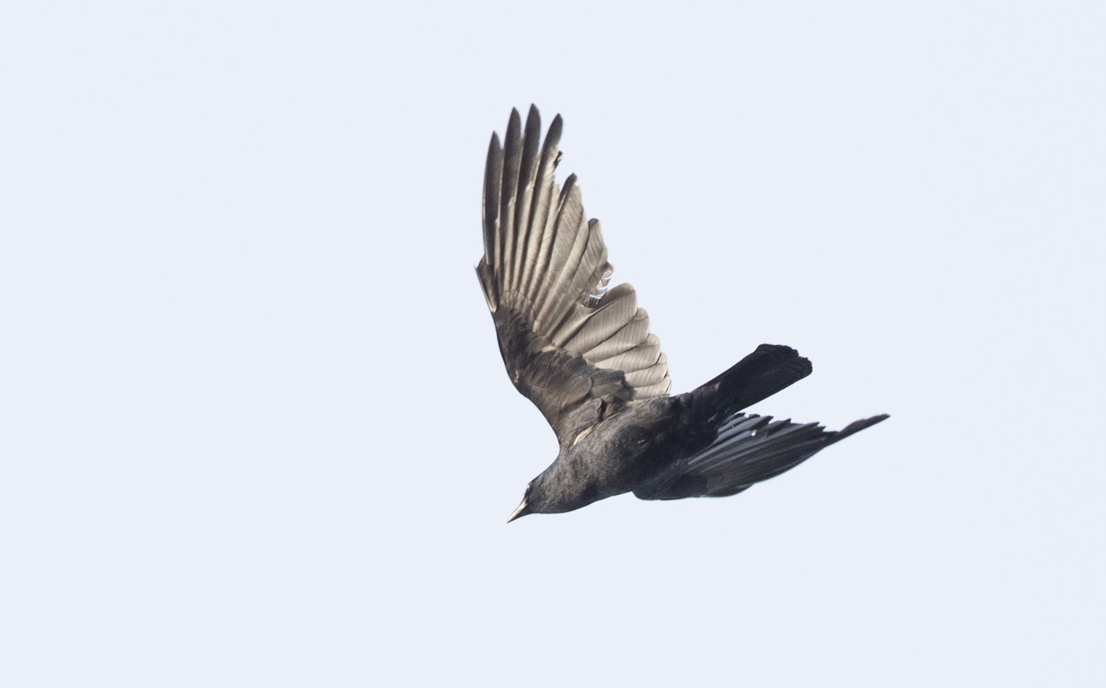 Blog 10 fish crow photos from for Fish crow call