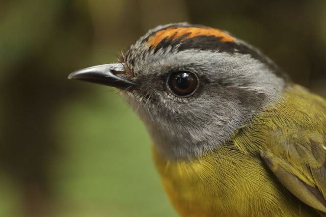 Mountain birds on 'escalator to extinction' as planet warms