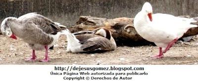 Foto de patos caminando y otro echado. Foto de patos de Jesus Gómez