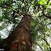 Manejo florestal não impacta a floresta, será mesmo?