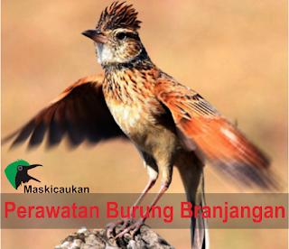 Perawatan Burung Branjangan Agar Gacor Dengan Stamina Yang Bagus