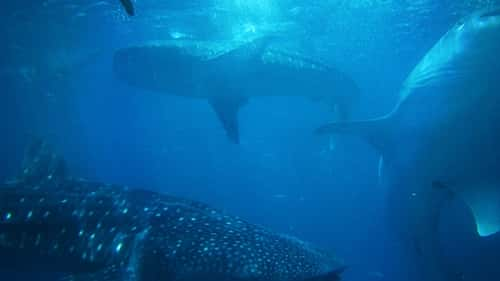 Whale Shark Watching, Oslob, Philippines