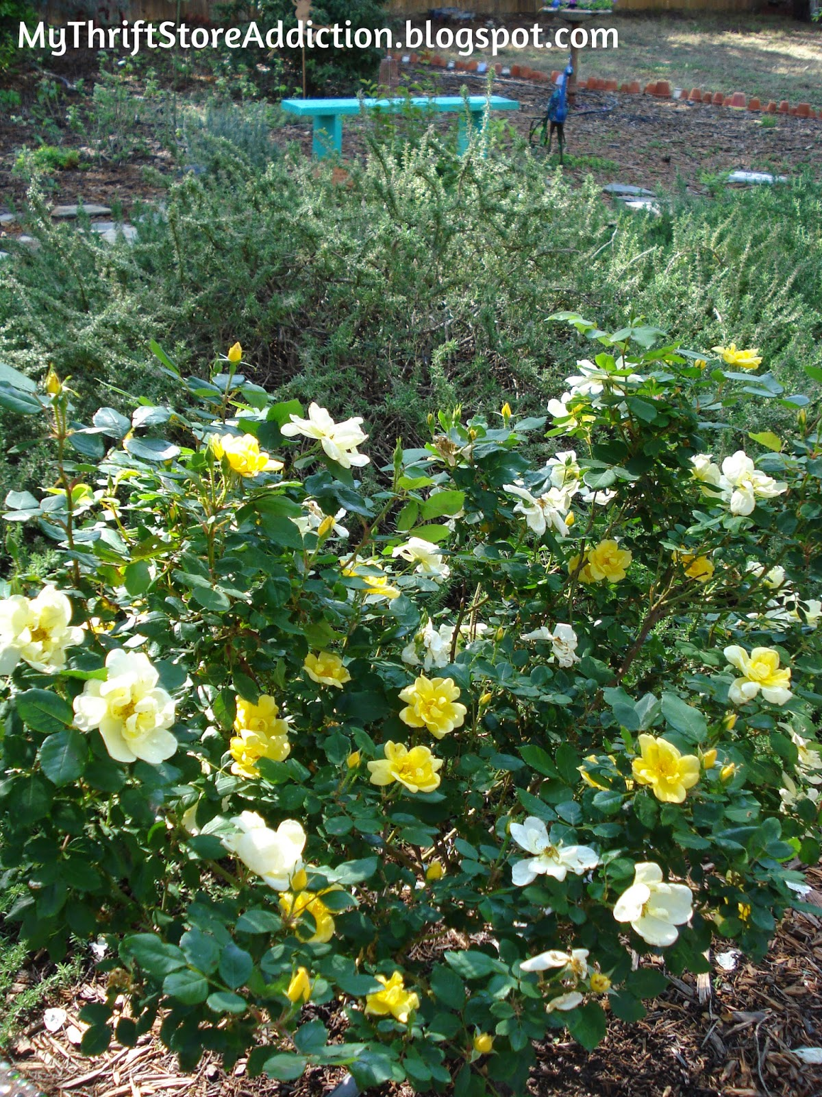 Yellow double knock out roses