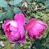 Cách trộn đất (giá thể) trồng hoa hồng