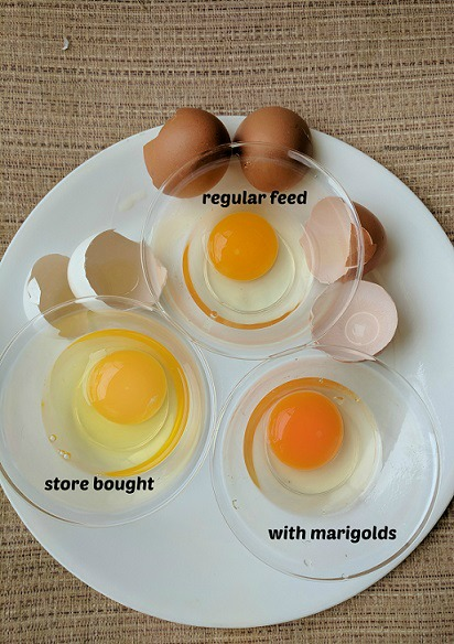 healthy farm eggs