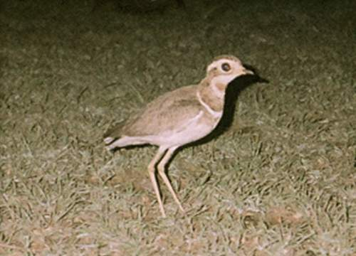 Indian birds - Picture of Jerdon's courser - Rhinoptilus bitorquatus