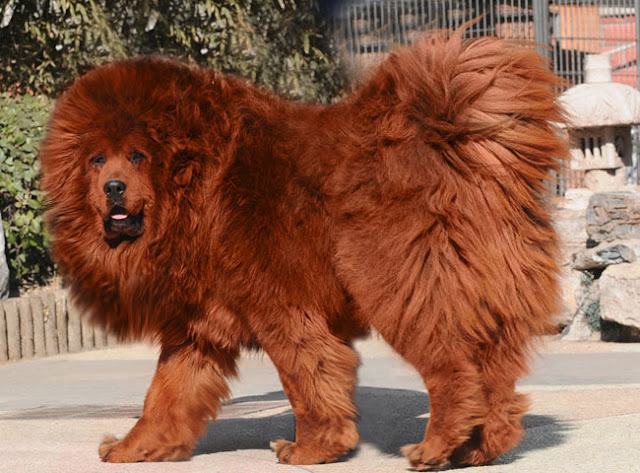 Red Tibetan Mastiff Pictures Galery