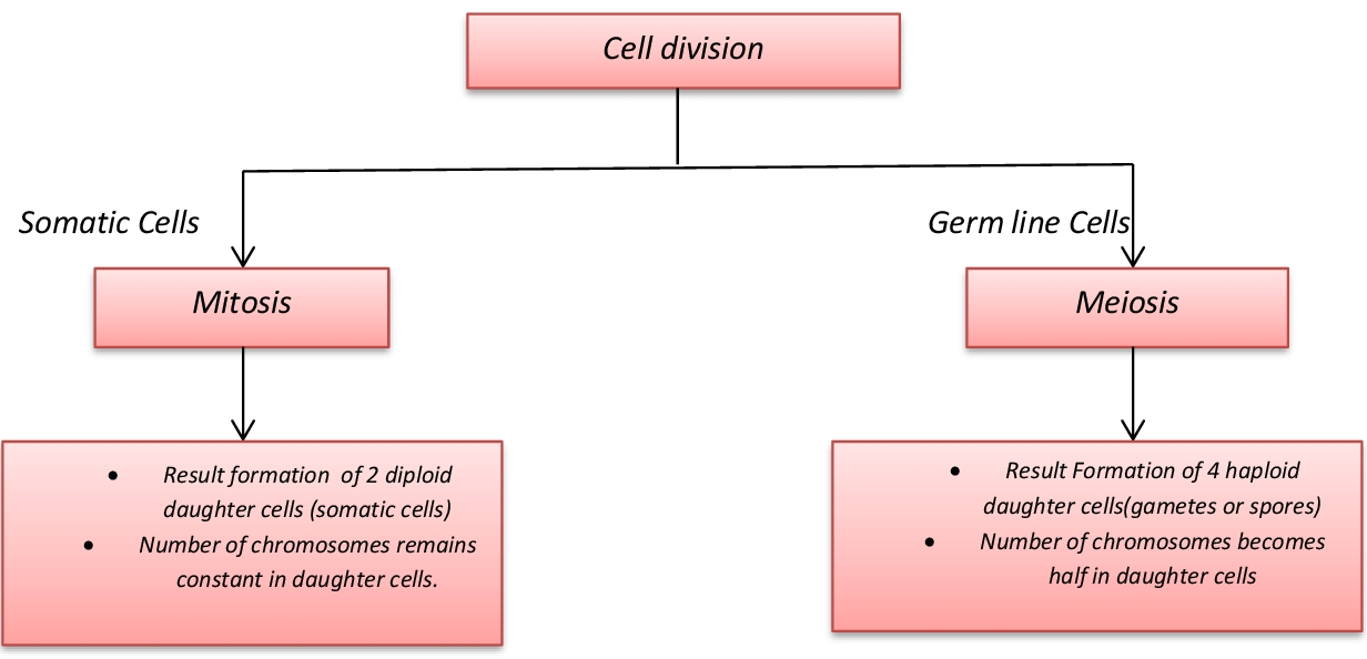 Concept Map Meiosis.Lesson Plan Of Cell Division General Science Grade Viii Effective