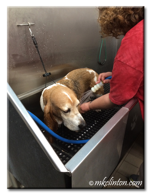 Basset hound rinsing in metal tub