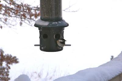 chickadee at December feeder