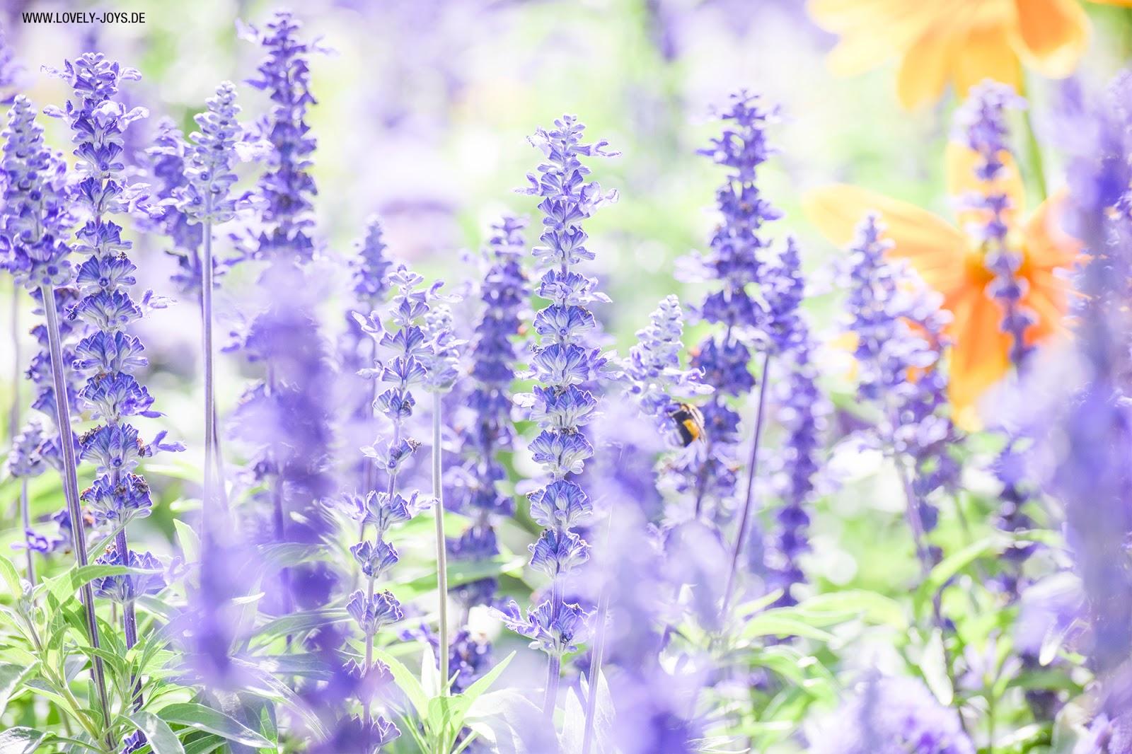 Lavendel