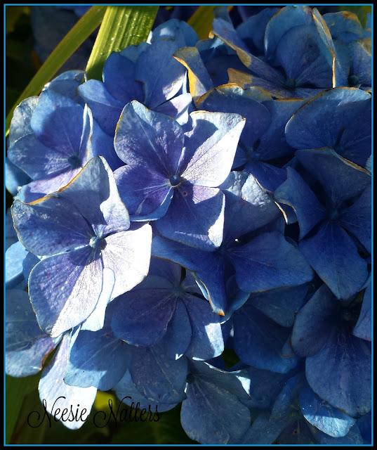 Blue Hydrangea by @NeesieNatters