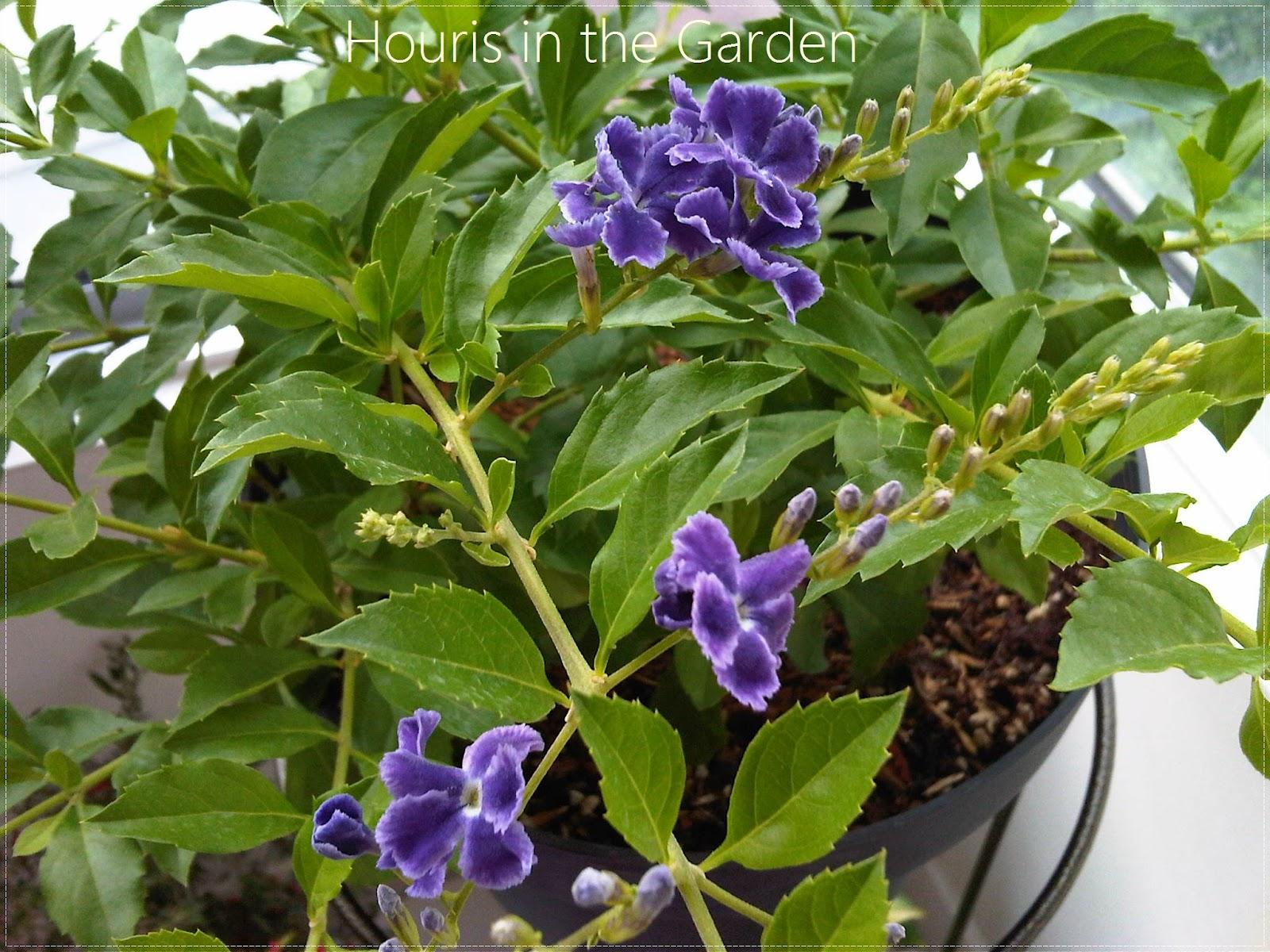 Houris in the Garden: Golden Dewdrops