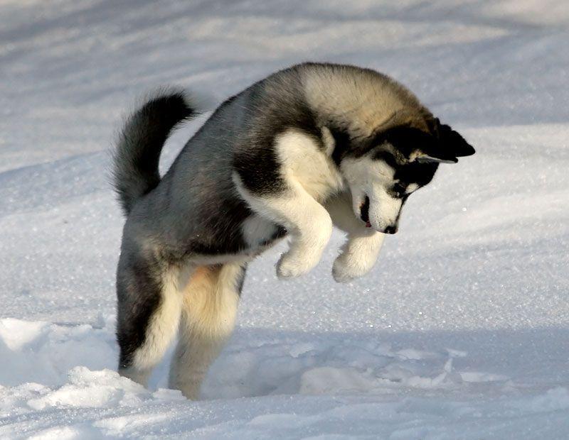 Siberian Husky Behavior