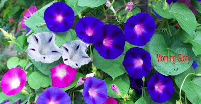 morning glory flower, morning glory