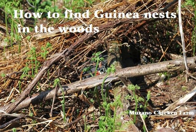 guineas hide nest