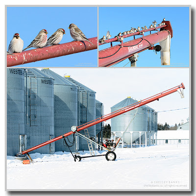 The auger and grain bins, on a winter white day photo © Shelley Banks